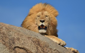 The Lion King, Serengeti, Tanzania