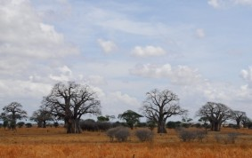 Baobab trees in Tarangire