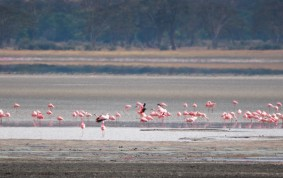 Flamingos i Ngorongoro Crater