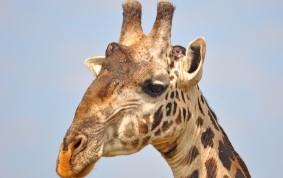 Porträtt av Massaj Giraff