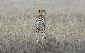 Well Camouflaged Cheetah