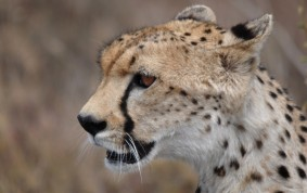 Profile of Cheetah