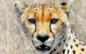 Gepard/Cheetah