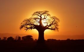 Baobab träd vid solnedgången