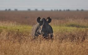 Svart Rhino i Ngorongoro