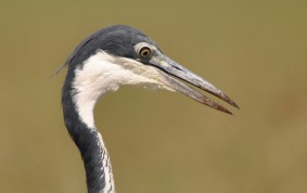 Black headed Grey Heron