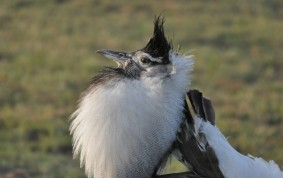 Kori Bustard on Display
