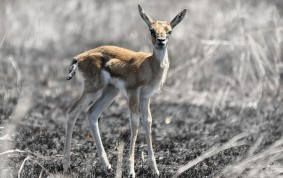 New born Thomson Gazelle