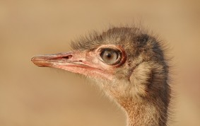 Ostrich female keeping an eye on you