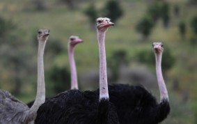 Ostrich on Guard
