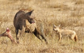 Spotted Hyena and Golden Jackal
