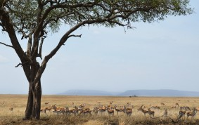 Thomson Gazelles in Serengeti