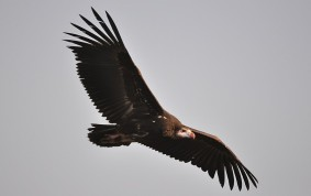 White faced Vulture