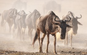 Wildebeest looking for water