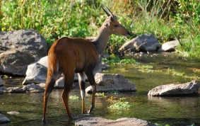Young Male Bushbuck